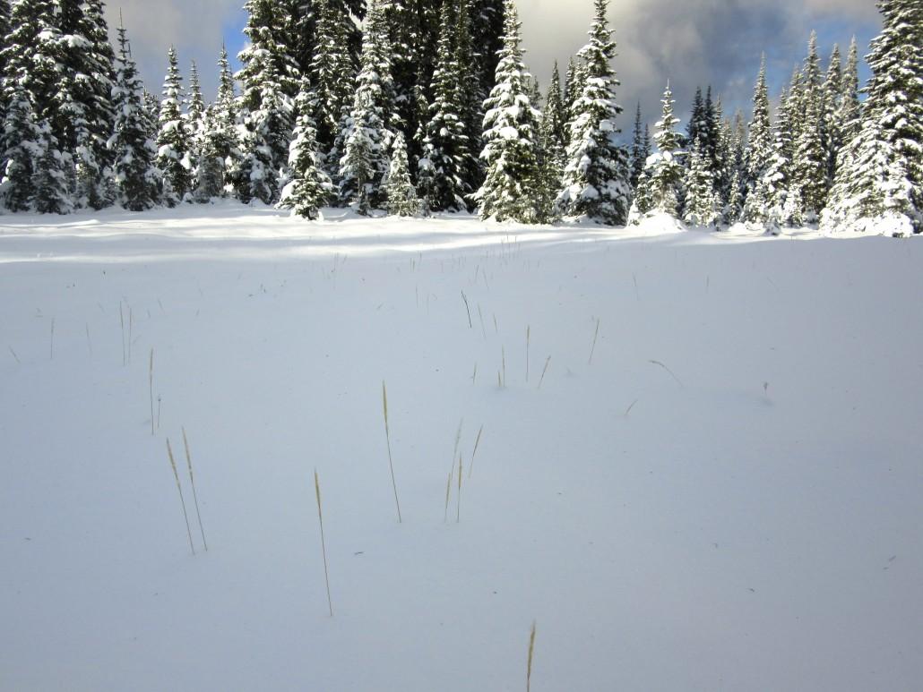 Grasses on the Coquihalla brigade trail of Eden