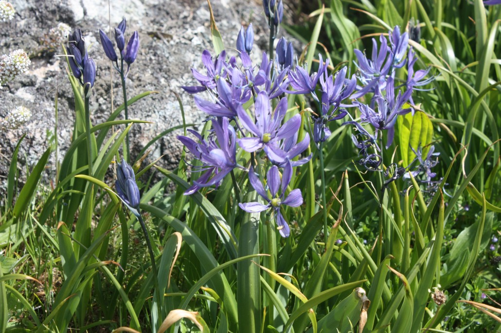 These are delicate flowers in comparison to the larger camas